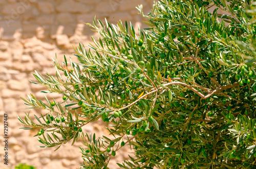 Foto op Plexiglas Olijfboom olivenbaum