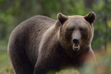 Brown bear portrait in the forest at fall