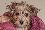 Puppy Getting Dry After His Bath - Fine Art prints