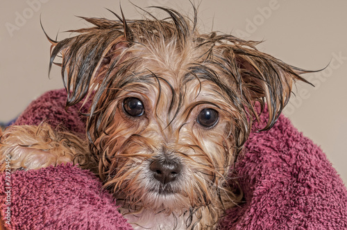 Puppy Getting Dry After His Bath - 72929456