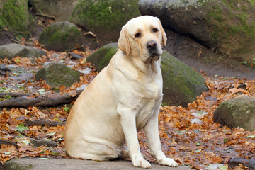 a yellow labrador in the park in autumn