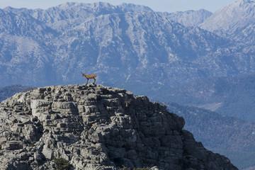 zirvede dağ keçisi