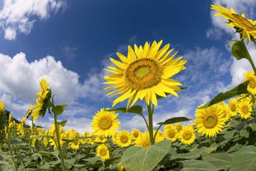 夏空とヒマワリ畑