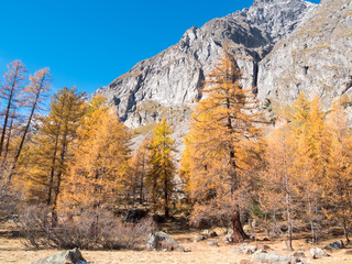 Larch forest in fall - Mont Blanc, Courmayer, Val d'Aosta, Italy