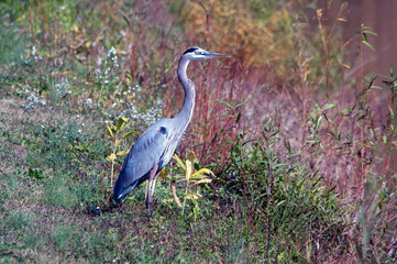 A blue heron  standing on a lake shore line.