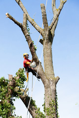 Elagueur démontant un arbre