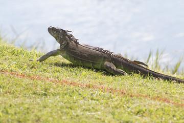 Iguana fleeing on a meadow.