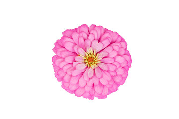 Natural colorful Zinnia,flower in isolate on white.