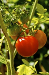 Plant with red tomatoes.
