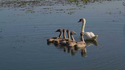 young swans