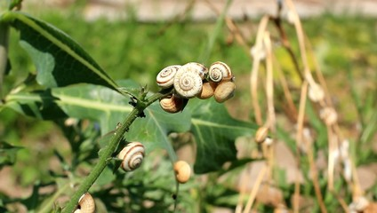 many garden snails on the plant