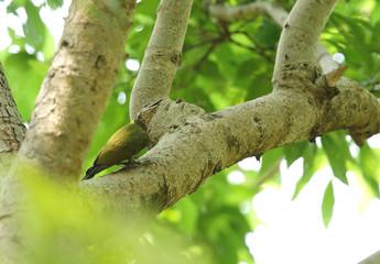Beautiful Grey-headed woodpecker on a tree