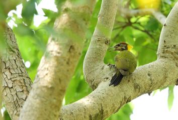 Beautiful Grey-headed woodpecker in the greens of Jim Corbett