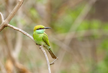 A beautiful green bee-eater in Jhirna Forest