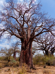 Afrikanische Affenbrotbäume (Adansonia digitata) Baobab
