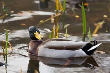 Male mallard duck in water in Sweden