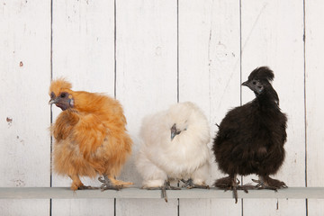 Silkies chickens in henhouse
