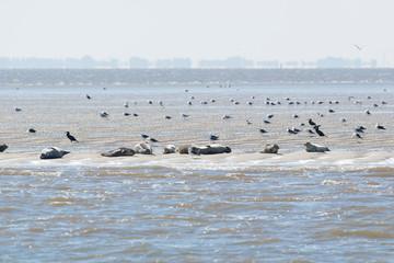 Seal in wadden sea