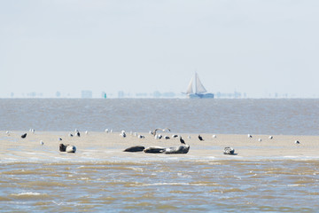 Seal in wadden sea