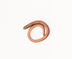 earthworm in isolated on white background