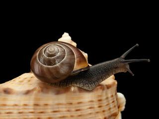 Snail creeping on a sea cockleshell