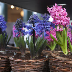 Blue and pink hyacinth flowers on wooden table