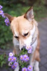 花の匂いを嗅ぐ犬