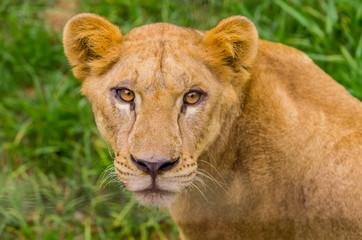 closeup portrait of beautiful lioness