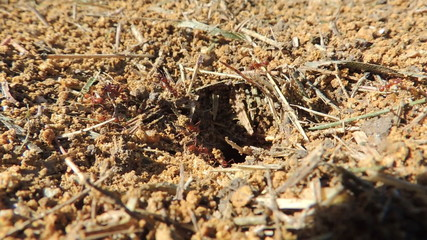 Red ants working in the nest