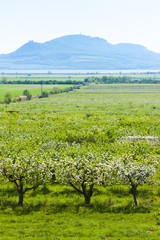 spring orchard and Palava at background, Czech Republic