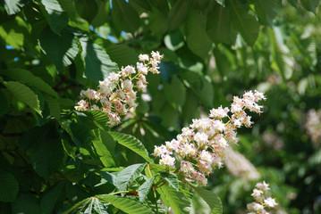 White horsechestnut in blossom