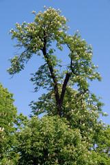 Horse-chestnut in blossom