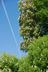 Horsechestnut in blossom and airplane trail