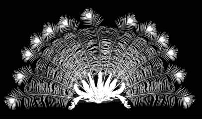 peacock feather fan silhouette on black
