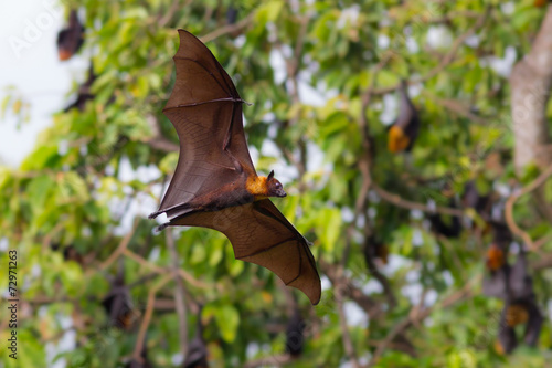 Full open wings of flying male Lyle's flying fox