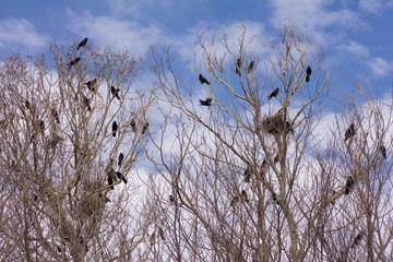 Colonia de Grajas en chopos con nidos. Corvus frugilegus.