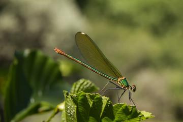 Calopteryx splendens. Libélula listada hembra.