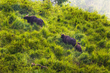 Gaur  (Bos gaurus laosiensis) family walking on the hill
