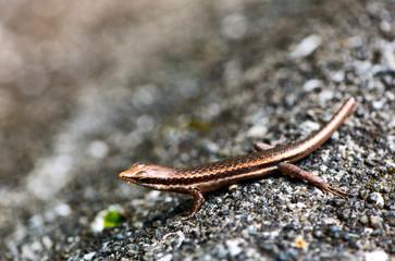 Lizard sunning itself on a rock