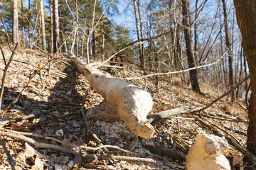 Tree gnawed  beavers