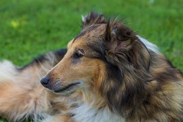 Maya the shetlan dog