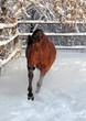 Bay purebred horse runs gallop in winter farm