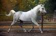 Grey arabian horse runs gallop