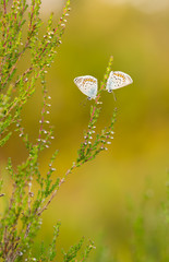 Two Silver-studded blue, Plebejus argus