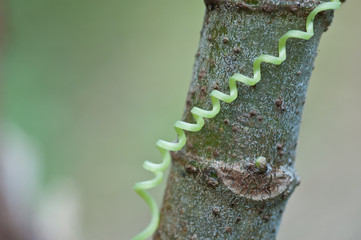 spiraling tendril from Ivy Gourd