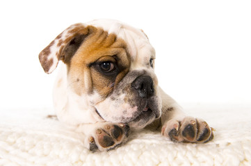 young little French Bulldog cub dog on bed looking at camera