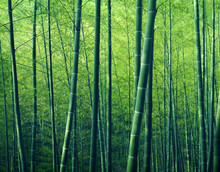 Bamboo Forest Arbres Nature Concept