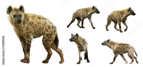 Staande foto Hyena Set of hyenas. Isolated over white background