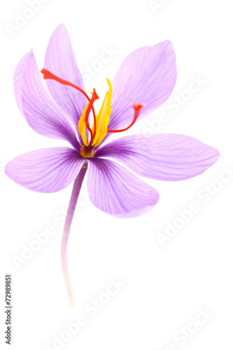 Papiers peints Herbe, epice Close up of saffron flower isolated on white background