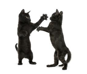 Two black kittens fighting